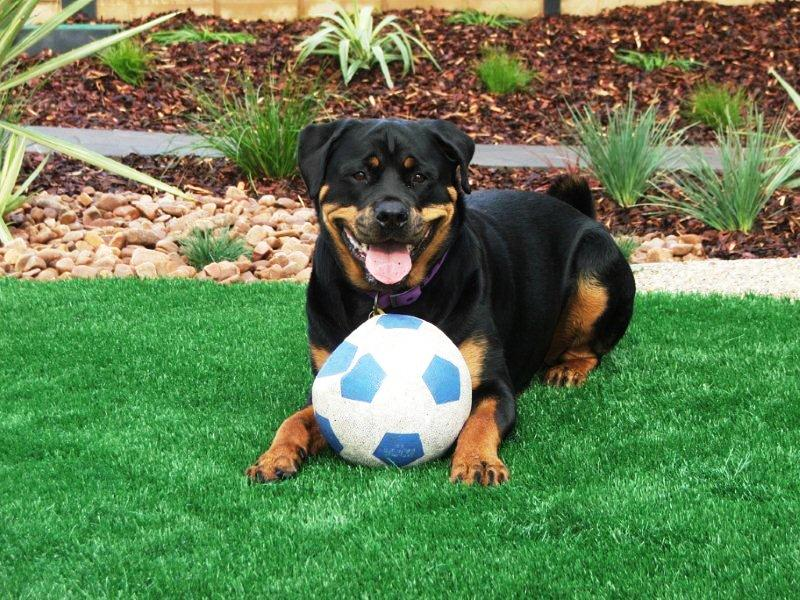 Removal Dog Urine from Synthetic Grass